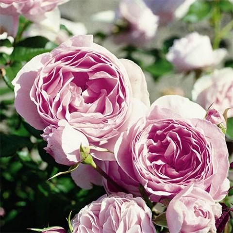 Роза Gartenträume фото