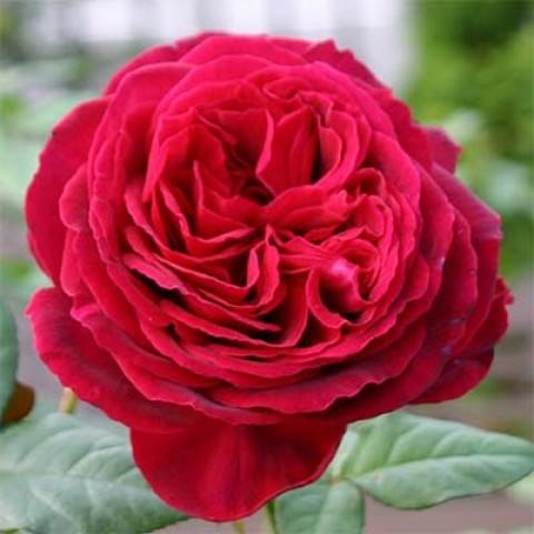 Роза Gospel фото