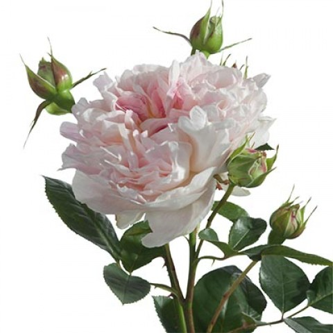 Роза Guernsey фото