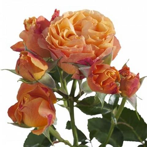 Роза Ibiza фото