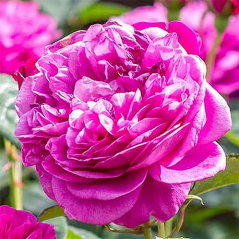 Роза James L. Austin фото