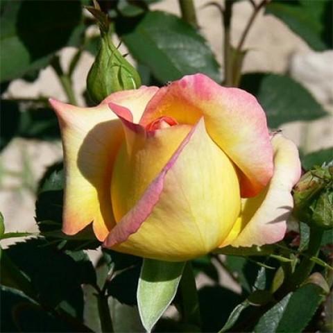 Роза Jean Piat фото