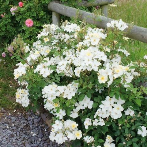 Роза Kew Gardens фото