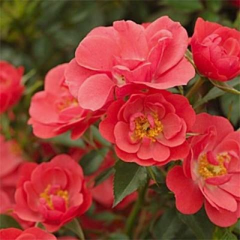 Роза Kirsch Cover фото