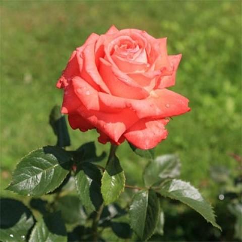 Роза Köningin der Rosen фото