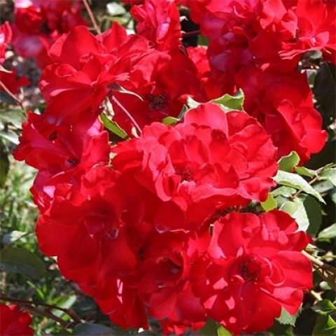 Роза La Sevillana фото