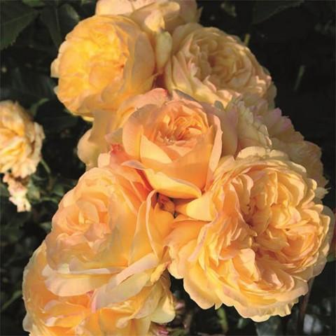 Роза Lampion фото