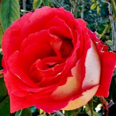 Роза Las Vegas фото