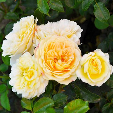 Роза Lemon Vaza фото
