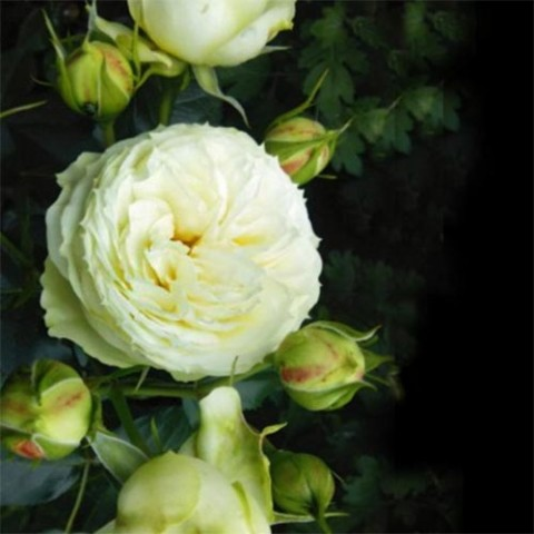 Роза Lemon Rokoko фото