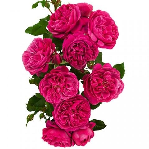 Роза Magic Romanza фото