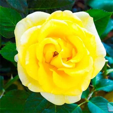 Роза Malta фото