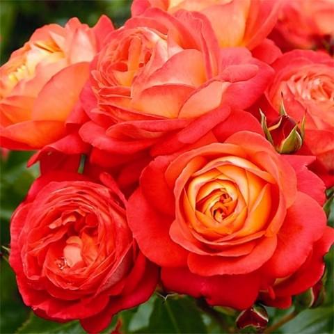 Роза Midsummer фото