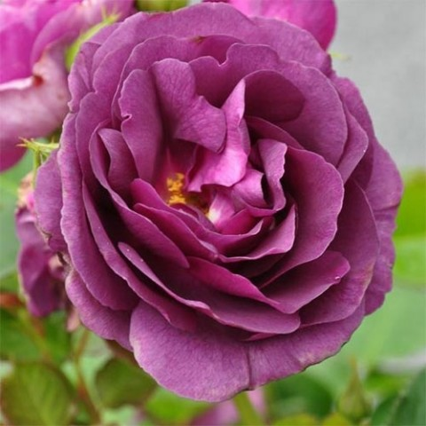 Роза Minerva фото