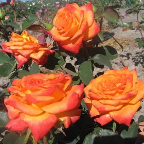 Роза Monica фото