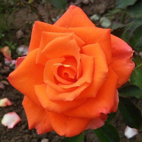 Роза Monika фото
