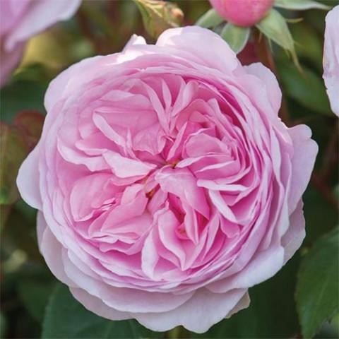 Роза Olivia Rose Austin фото