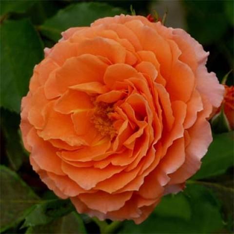Роза Orange Meilove фото