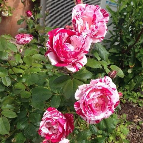 Роза Papageno фото