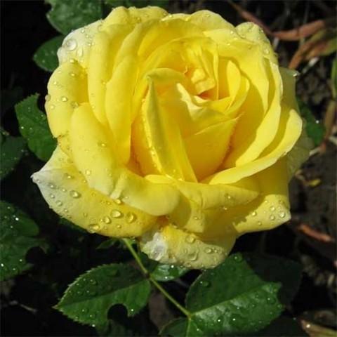 Роза Papillon фото