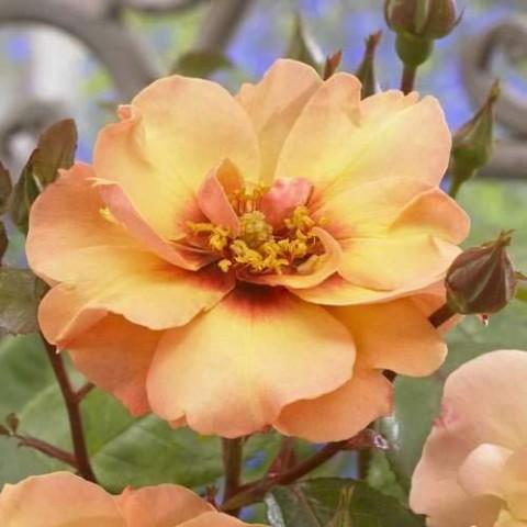 Роза Persian Sun фото