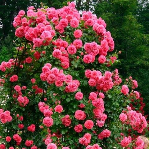 Роза Rosarium Uetersen фото