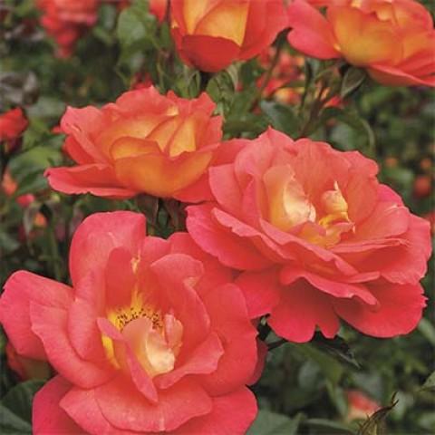 Роза Shanty фото