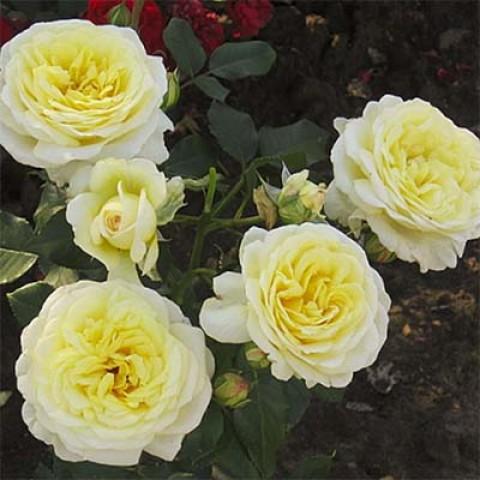 Роза Stockholm фото