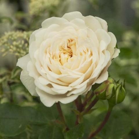 Роза Tranquillity фото