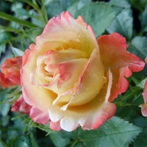 Роза Vendee Imperiale фото