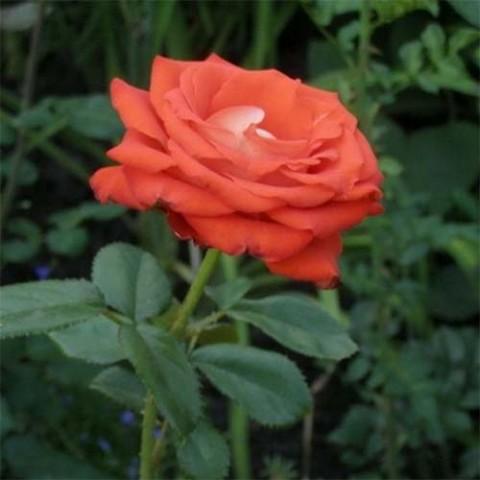 Роза Verano фото