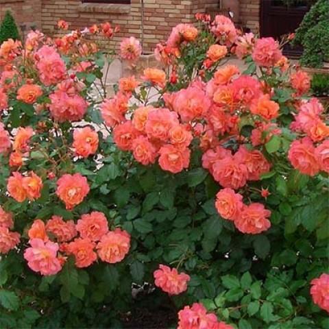 Роза Westerland фото