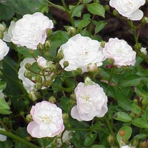 Роза White Fairy фото