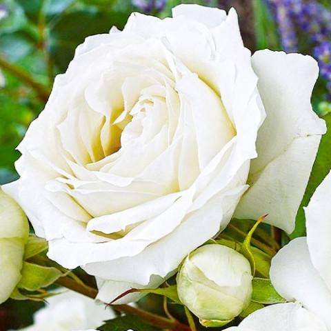Роза White Symphony фото