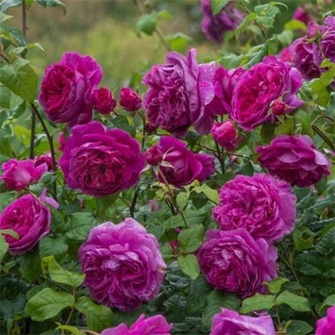 Роза Young Lycidas фото