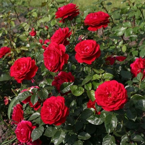 Роза Bordeaux фото