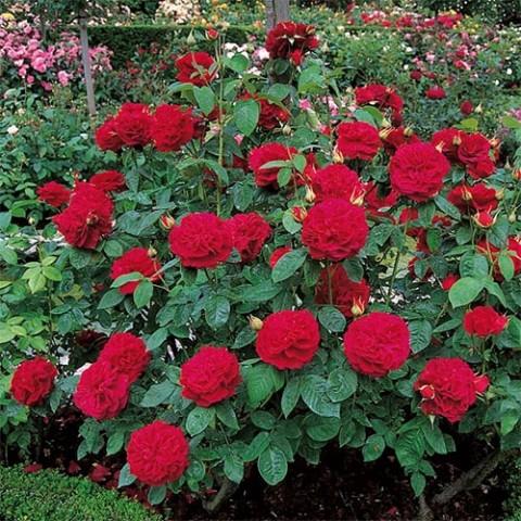 Роза L.D. Braithwaite фото