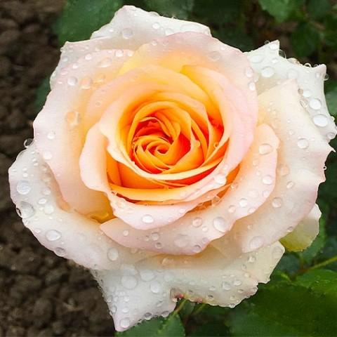 Роза Byblos фото