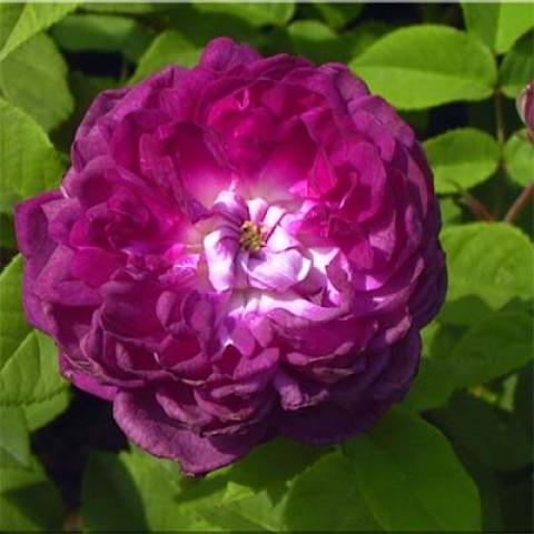 Роза Cardinal De Richelieu фото