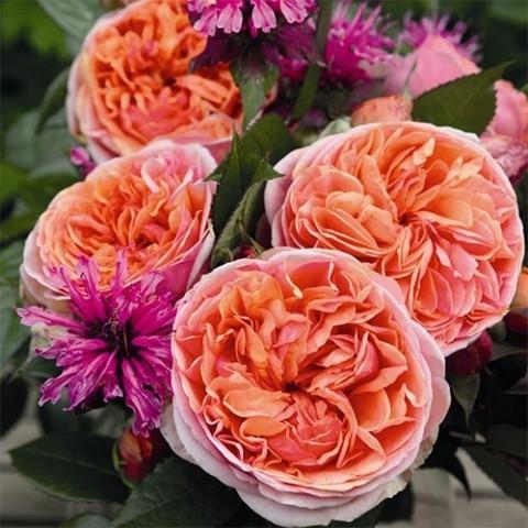 Роза Chippendale фото