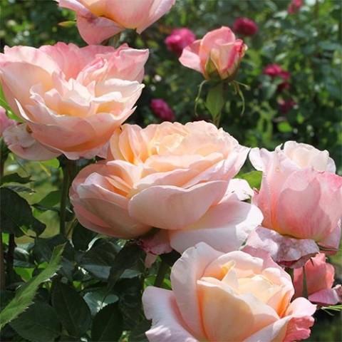 Роза Isabelle Autissier фото