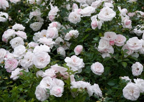 Роза Aspirin Rose фото