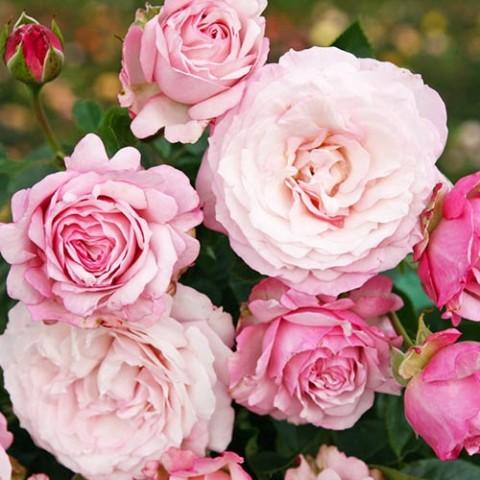 Роза Rosenfaszination фото