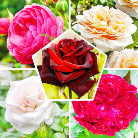 Комплект роз Империя фото