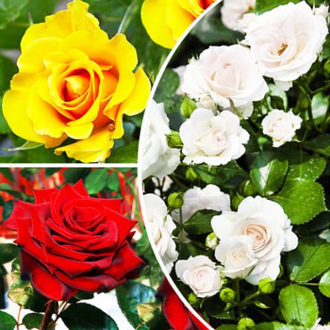Комплект роз На контрасте фото