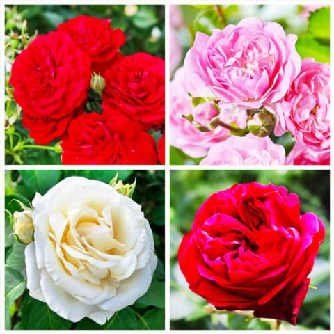 Комплект роз Страсть фото