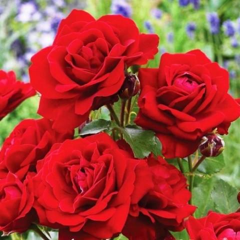 Роза Lilli Marleen фото