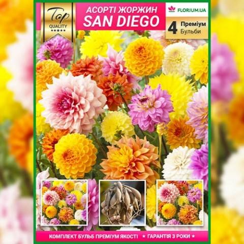 Премиум георгины San Diego (брендовая упаковка) фото