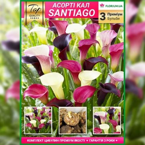 Премиум каллы Santiago (брендовая упаковка) фото