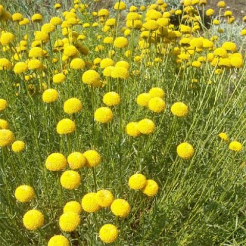 Сантолина Rosmarinifolia фото